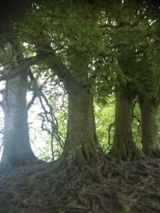 Avebury beech 2
